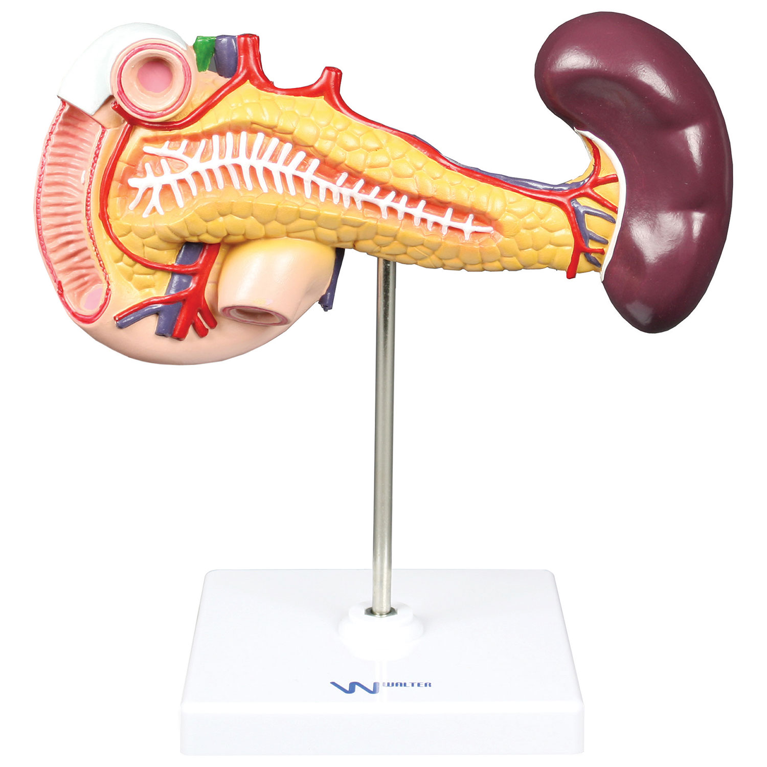 Walter Products Pancreas Duodenum Spleen Model Anatomical