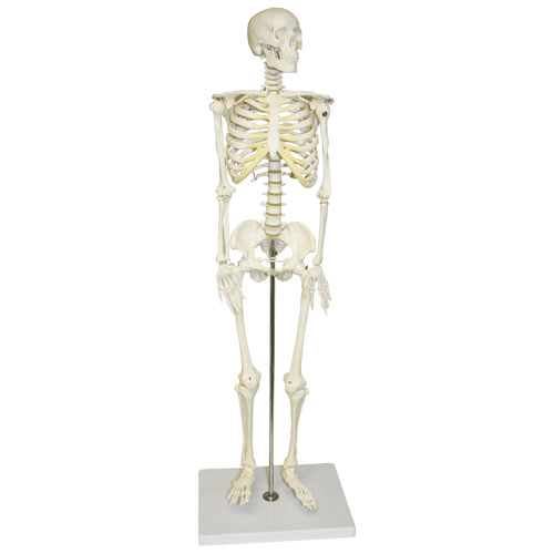 Walter Products Half-Size Human Skeleton Model - 3 Parts ...