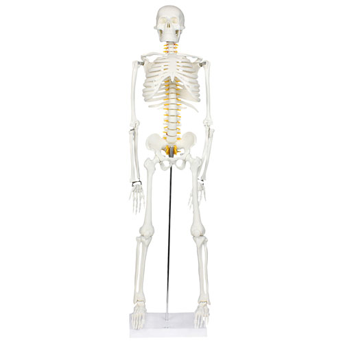 Walter Products Half-Size Human Skeleton Model with Nerves Labeled ...