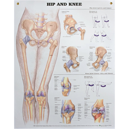 Wall chart hip and knee anatomical models best buy canada ccuart