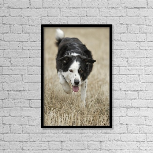"Printscapes Wall Art: 12"" x 18"" Canvas Print With Black Frame - Border Collie - Alberta Canada by Darwin Wiggett"