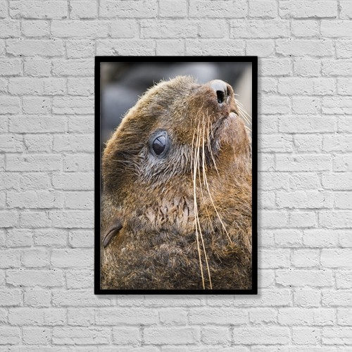 "Printscapes Wall Art: 12"" x 18"" Canvas Print With Black Frame - Portrait Of Northern Fur Seal Bull, St by John Gibbens"