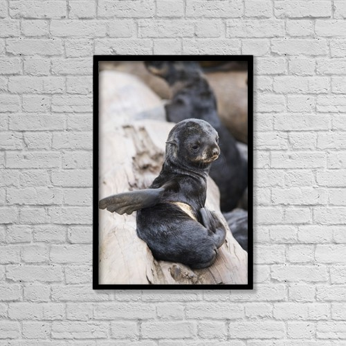 """Printscapes Wall Art: 12"""" x 18"""" Canvas Print With Black Frame - Northern Fur Seal Pup Scratching, St by John Gibbens"""