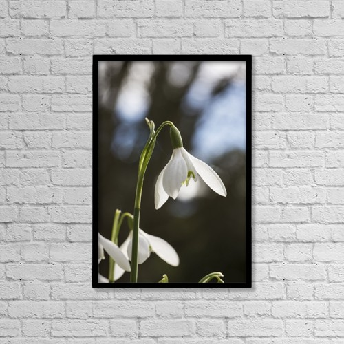 "Printscapes Wall Art: 12"" x 18"" Canvas Print With Black Frame - Snowdrop (Galanthus);Northumberland England by John Short"
