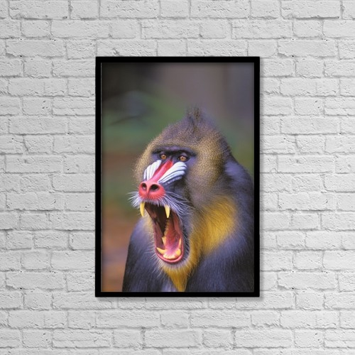 "Printscapes Wall Art: 12"" x 18"" Canvas Print With Black Frame - Roaring mandrill baboon by Thomas Kitchin & Victoria Hurst"