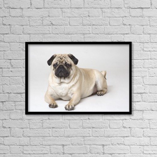 "Printscapes Wall Art: 18"" x 12"" Canvas Print With Black Frame - Portrait Of A Pug Dog by Corey Hochachka"