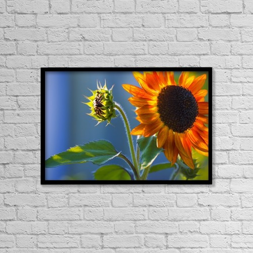 "Printscapes Wall Art: 18"" x 12"" Canvas Print With Black Frame - A Sunflower Blooming With Bud by Carson Ganci"