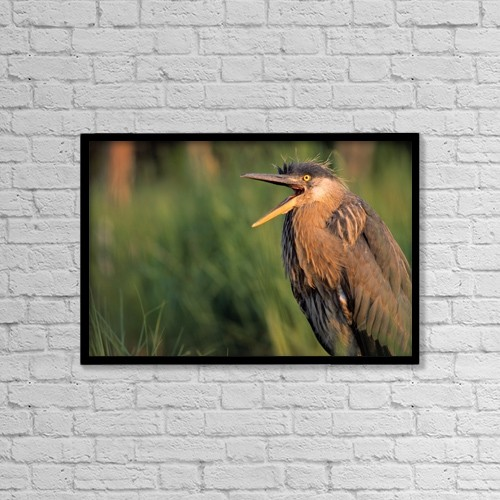 "Printscapes Wall Art: 18"" x 12"" Canvas Print With Black Frame - Fledgling Great Blue Heron by Natural Selection Bill Byrne"
