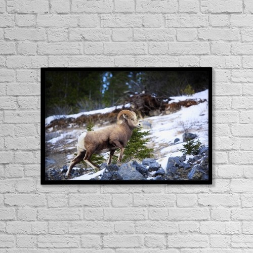 "Printscapes Wall Art: 18"" x 12"" Canvas Print With Black Frame - Bighorn Sheep Climbing Snowy Rocky Hill by Richard Wear"