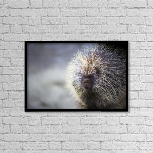 "Printscapes Wall Art: 18"" x 12"" Canvas Print With Black Frame - Porcupine by Richard Wear"
