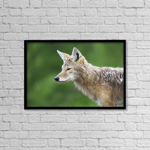 """Printscapes Wall Art: 18"""" x 12"""" Canvas Print With Black Frame - Coyote by Richard Wear"""