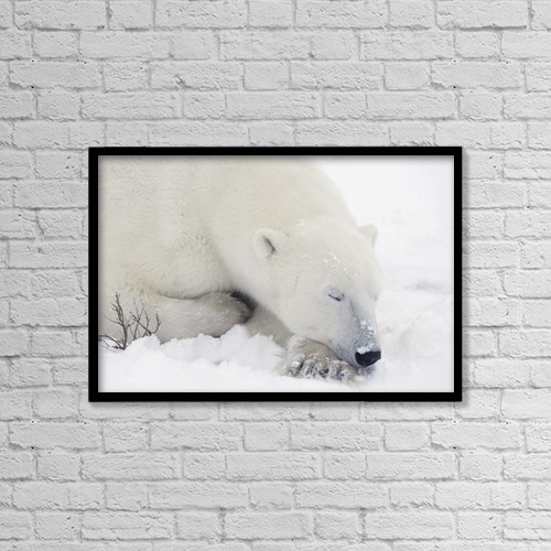 "Printscapes Wall Art: 18"" x 12"" Canvas Print With Black Frame - Sleeping Polar Bear by Richard Wear"
