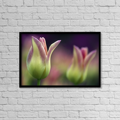"Printscapes Wall Art: 18"" x 12"" Canvas Print With Black Frame - Two Magenta Tulips Opening by Natural Selection Tony Sweet"