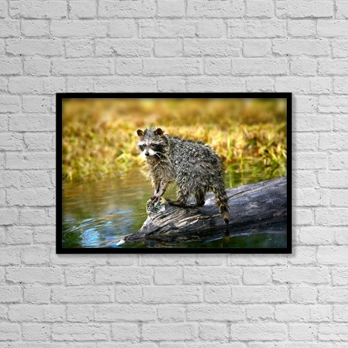"Printscapes Wall Art: 18"" x 12"" Canvas Print With Black Frame - Raccoon After A Swim by Richard Wear"