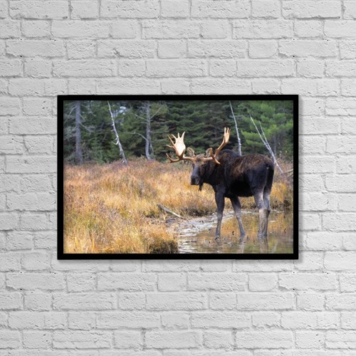 """Printscapes Wall Art: 18"""" x 12"""" Canvas Print With Black Frame - Bull Moose In Stream by Natural Selection Bill Byrne"""