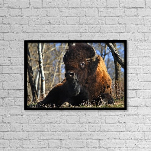 "Printscapes Wall Art: 18"" x 12"" Canvas Print With Black Frame - A Buffalo Resting by Richard Wear"