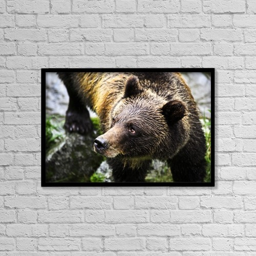 "Printscapes Wall Art: 18"" x 12"" Canvas Print With Black Frame - Grizzly Bear by Richard Wear"