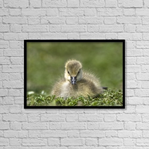 "Printscapes Wall Art: 18"" x 12"" Canvas Print With Black Frame - Fuzzy Gosling by John Short"