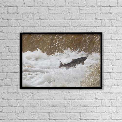 "Printscapes Wall Art: 18"" x 12"" Canvas Print With Black Frame - Fish Jumping Upstream In The Water by John Short"