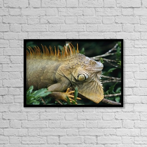 "Printscapes Wall Art: 18"" x 12"" Canvas Print With Black Frame - Iguana Near Cano Negro National Park by Ian Cumming"