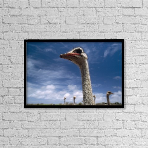 "Printscapes Wall Art: 18"" x 12"" Canvas Print With Black Frame - Ostriches On Ostrich Farm by Ian Cumming"