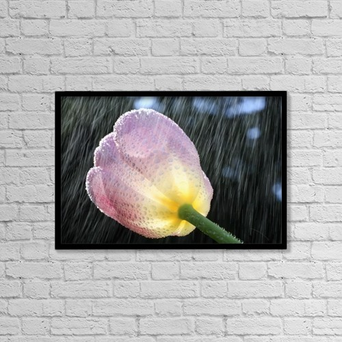 "Printscapes Wall Art: 18"" x 12"" Canvas Print With Black Frame - Rain Falling On A Tulip by Craig Tuttle"