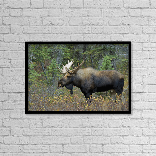 """Printscapes Wall Art: 18"""" x 12"""" Canvas Print With Black Frame - Moose (Alces Alces) In A Forest by Philippe Widling"""