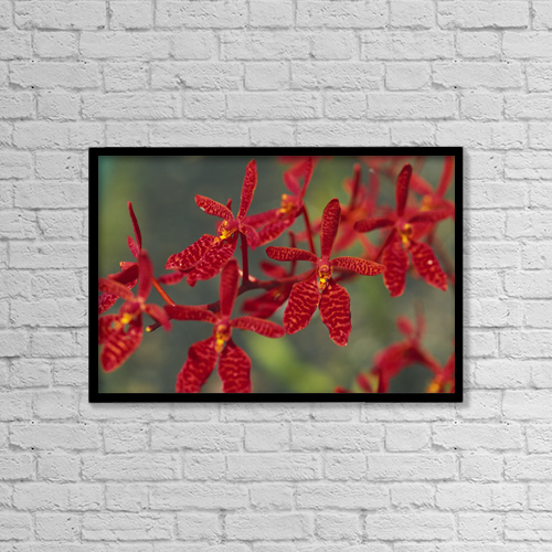"Printscapes Wall Art: 18"" x 12"" Canvas Print With Black Frame - Hawaii, Orange Orchid Cluster Queen Emma by Chris Abraham"