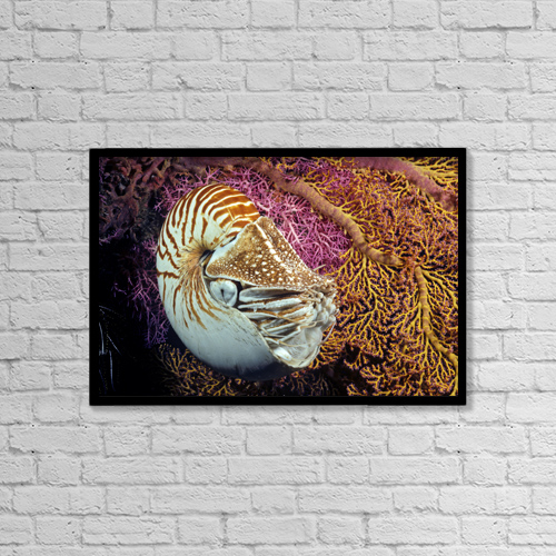 "Printscapes Wall Art: 18"" x 12"" Canvas Print With Black Frame - Chambered nautilus (Nautilus pompilius) by Dave Fleetham"