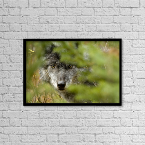 "Printscapes Wall Art: 18"" x 12"" Canvas Print With Black Frame - Grey Wolf, Outside Golden, British Columbia by Robert Postma"