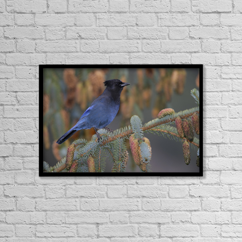 "Printscapes Wall Art: 18"" x 12"" Canvas Print With Black Frame - Stellar Jay, Haines, Alaska by Robert Postma"