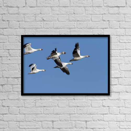 """Printscapes Wall Art: 18"""" x 12"""" Canvas Print With Black Frame - Group Of Snow Geese In Flight by Philippe Henry"""