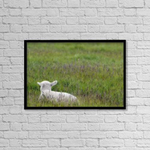 "Printscapes Wall Art: 18"" x 12"" Canvas Print With Black Frame - Lamb In Pasture, Alberta, Canada by Darwin Wiggett"