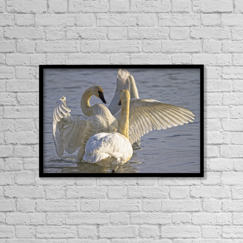 "Printscapes Wall Art: 18"" x 12"" Canvas Print With Black Frame - Swan Spreading And Stretching Wings, Yukon by Robert Postma"