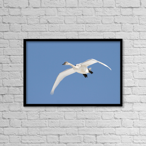 "Printscapes Wall Art: 18"" x 12"" Canvas Print With Black Frame - Trumpeter Swan, Lake Ontario, Ontario by Doug Hamilton"