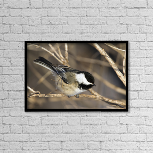 "Printscapes Wall Art: 18"" x 12"" Canvas Print With Black Frame - Blackcapped Chickadee Perched In A Tree by Philippe Henry"