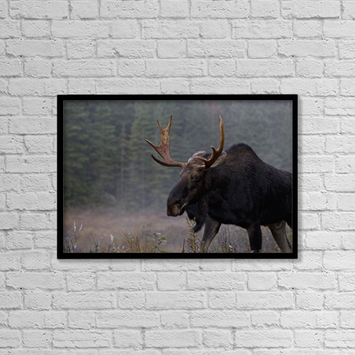 "Printscapes Wall Art: 18"" x 12"" Canvas Print With Black Frame - Moose, Algonquin Provincial Park, Ontario by Robert Postma"
