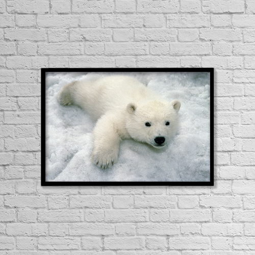 "Printscapes Wall Art: 18"" x 12"" Canvas Print With Black Frame - Polar Bear Cub Playing In Snow Alaska Zoo by Mark Newman"