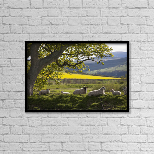 "Printscapes Wall Art: 18"" x 12"" Canvas Print With Black Frame - Sheep Laying On The Grass Under A Tree by John Short"