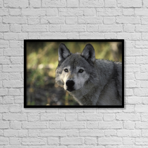 "Printscapes Wall Art: 18"" x 12"" Canvas Print With Black Frame - Portait Of Gray Wolf Usa by Ron Sanford"