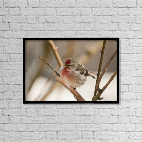 "Printscapes Wall Art: 18"" x 12"" Canvas Print With Black Frame - Close Up Of Redpoll Songbird, Alaska, Spring by Nick Jans"