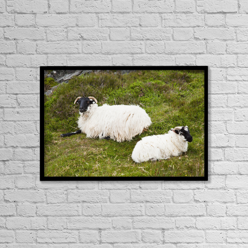 """Printscapes Wall Art: 18"""" x 12"""" Canvas Print With Black Frame - Sheep laying on the grass by Peter Zoeller"""