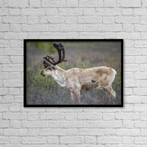"Printscapes Wall Art: 18"" x 12"" Canvas Print With Black Frame - A Deer In Denali National Park by Kip Evans"