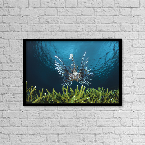 "Printscapes Wall Art: 18"" x 12"" Canvas Print With Black Frame - Lionfish (Pterois Volitans); Indonesia by Dave Fleetham"