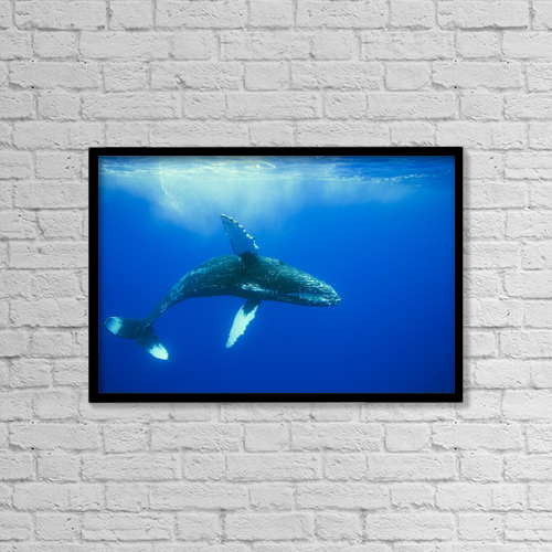 "Printscapes Wall Art: 18"" x 12"" Canvas Print With Black Frame - Humpback Whale (Megaptera Novaeangliae) by Dave Fleetham"