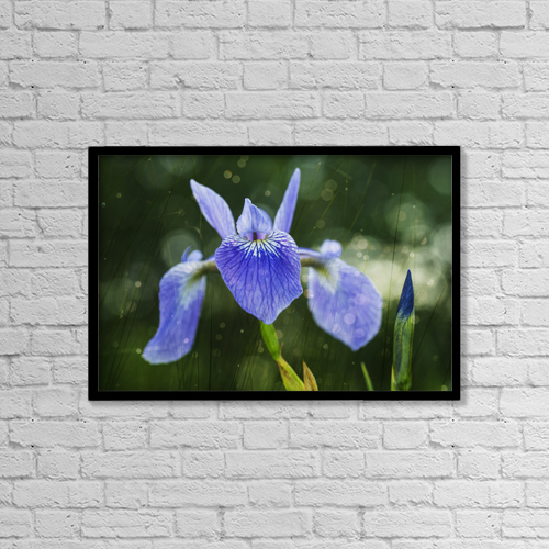 "Printscapes Wall Art: 18"" x 12"" Canvas Print With Black Frame - Blue Flag Iris (Iris Versicolor) by Julie DeRoche"