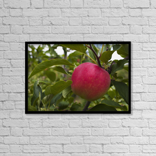 "Printscapes Wall Art: 18"" x 12"" Canvas Print With Black Frame - Close Up Of An Apple Growing On A Tree by David Chapman"