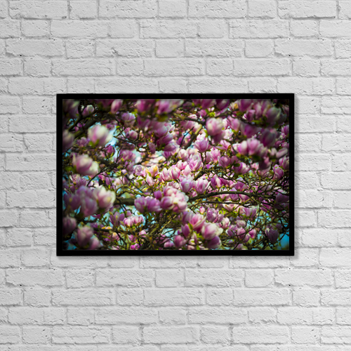 "Printscapes Wall Art: 18"" x 12"" Canvas Print With Black Frame - Beautiful Pink Magnolias Blossoming by Mats Silvan"