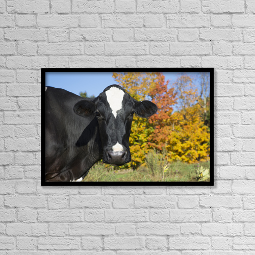 "Printscapes Wall Art: 18"" x 12"" Canvas Print With Black Frame - Holstein Dairy Cow In Autumn Pasture by Lynn Stone"