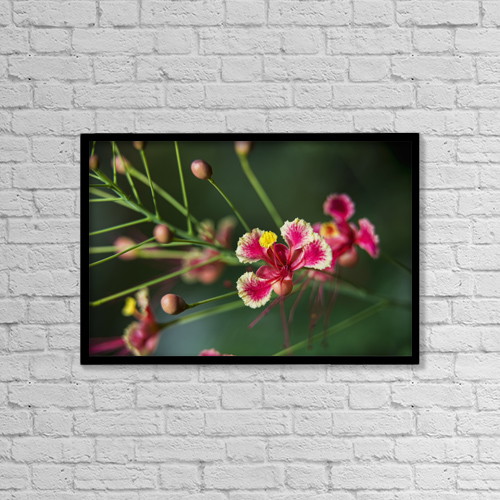 "Printscapes Wall Art: 18"" x 12"" Canvas Print With Black Frame - Pride Of Barbados (Caesalpinia Pulcherrima) by F. M. Kearney"